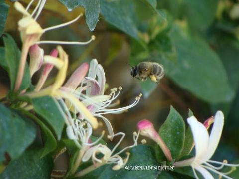 pollinisateur, abeille, changement climatique, bee, pollen, climate change